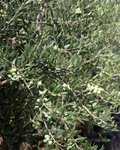 textura-olivos